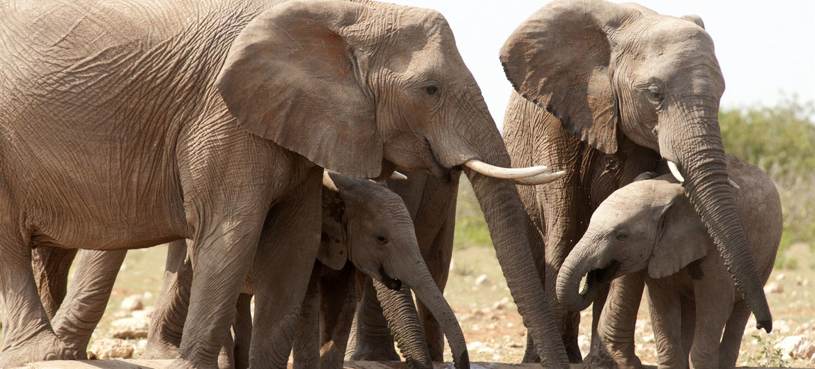 African elephants are listed as vulnerable by the International Union for Conservation of Nature (IUCN), as the animals are poached for their ivory tusks.