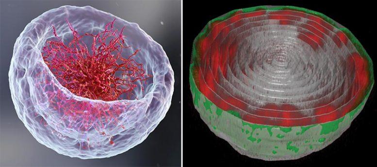 DNA Cell Nucleus