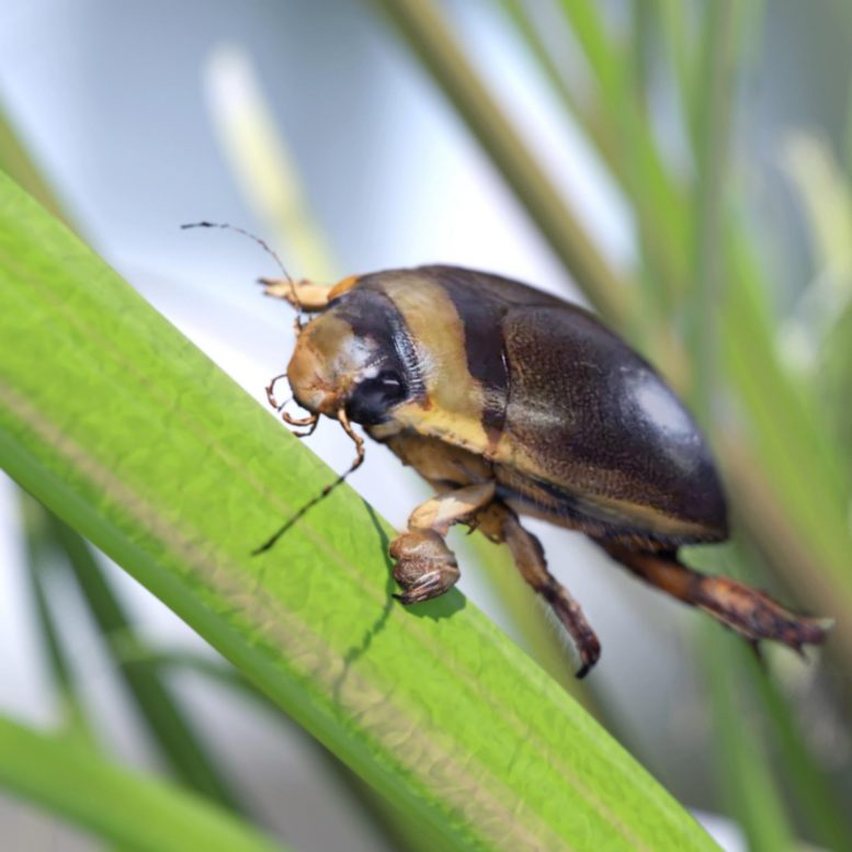 Male Diving Beetle
