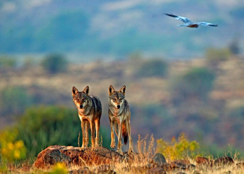 Two Indian Wolves