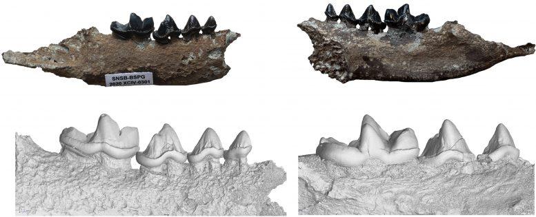 Vishnuonyx neptuni Lower Jaw