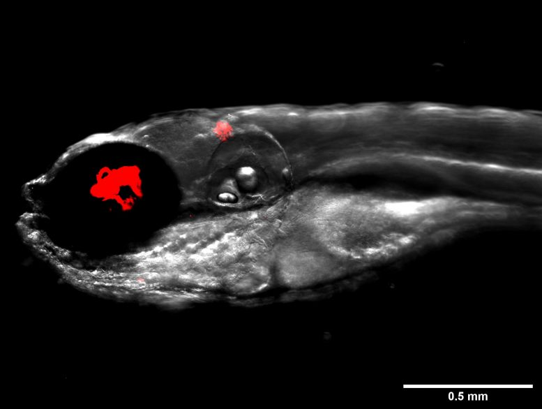 Zebrafish Infected With Fluorescent Bacteria